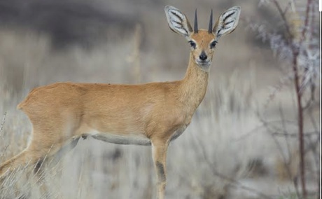 Steenbok available to hunt in South Africa. Hunting in Free State