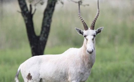 White Blesbok at Grootvallei. Very close to the common Blesbuck. Available at Grootvallei