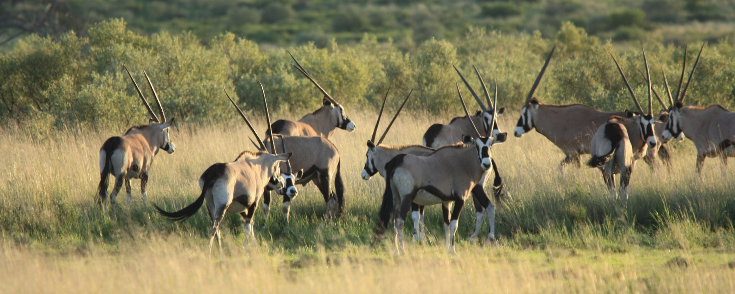 Gemsbok or Gembsbuck in South Africa. Hunting in Africa. Hunting specials in Africa