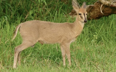 Common Duiker. Grootvallei Hunting farm you can shoot a Duiker