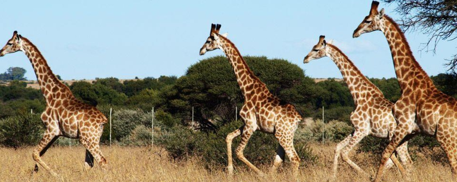 Giraffe , Grootvallei Hunting, Breeding and Guest Farm. International and Local Hunters